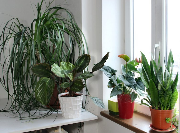 Top 8 Houseplants to Improve Indoor Air Quality - Easy to Grow Indoor Houseplants Air Quality on indoor seedlings, indoor roses, indoor trees, indoor plants, indoor organic gardening, indoor spices, indoor ferns, indoor orchids, indoor shrubs, indoor palms,