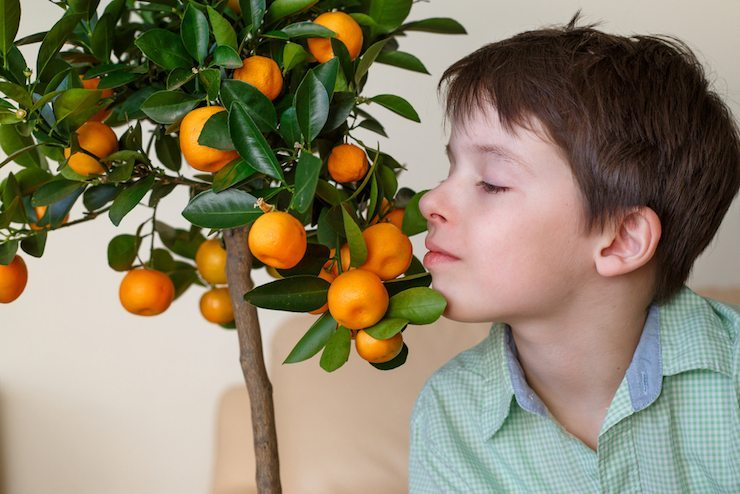 Indoor Citrus Tree Care Growing Dwarf Citrus In The Home Is